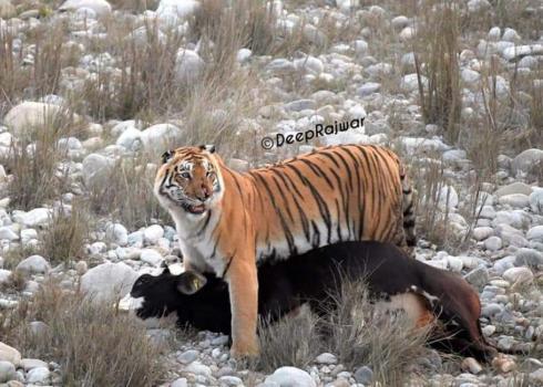 A Tigress kills cow